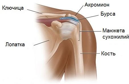 Скелет человека кости тазобедренного сустава