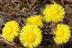 Цветки мать-и-мачехи при остеохондрозе