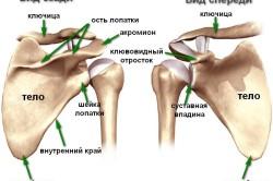 Схема лопаточной кости