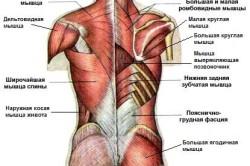 Схема мышц спины