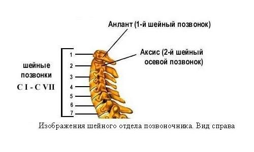 Строение шейного отдела позвоночника