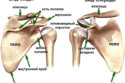 Анатомическое строение лопатки